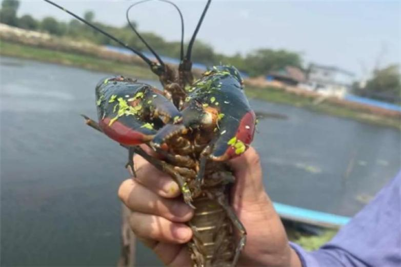 龙澳澳洲龙虾养殖加盟